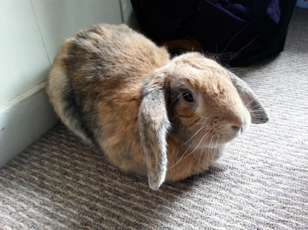 Lop eared rabbit sitting.