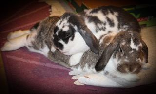 Two rabbits lying on each other.