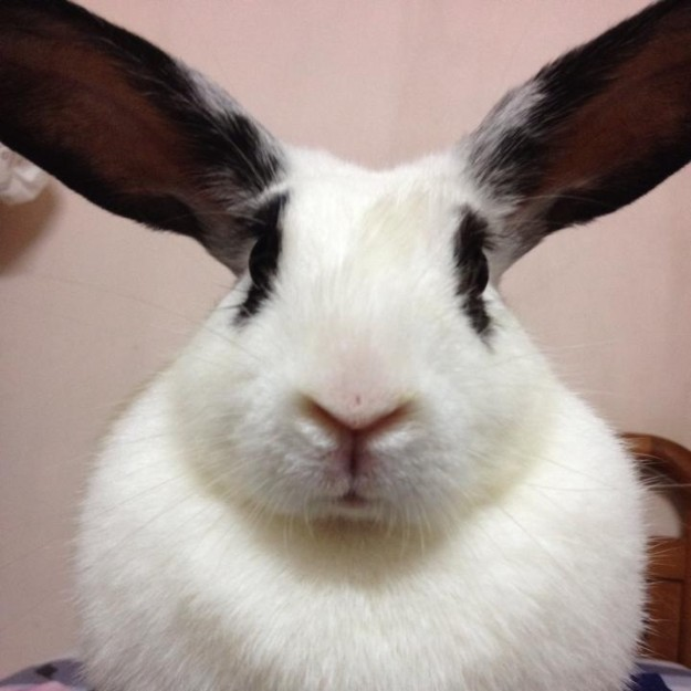 White and black rabbit face.