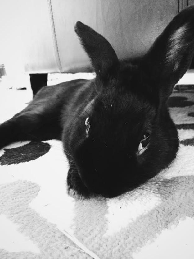 Black havana rabbit