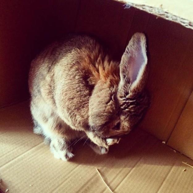 Agouti rabbit grooming