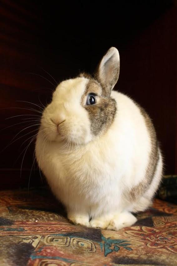 Blue eyed dwarf rabbit
