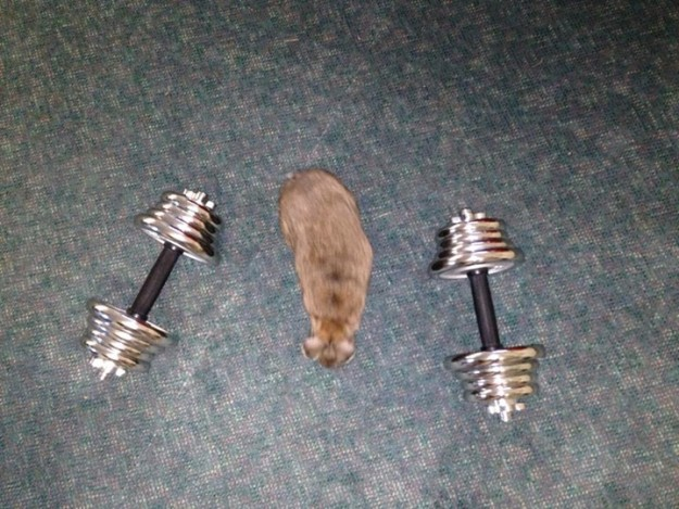 Rabbit in between weights.