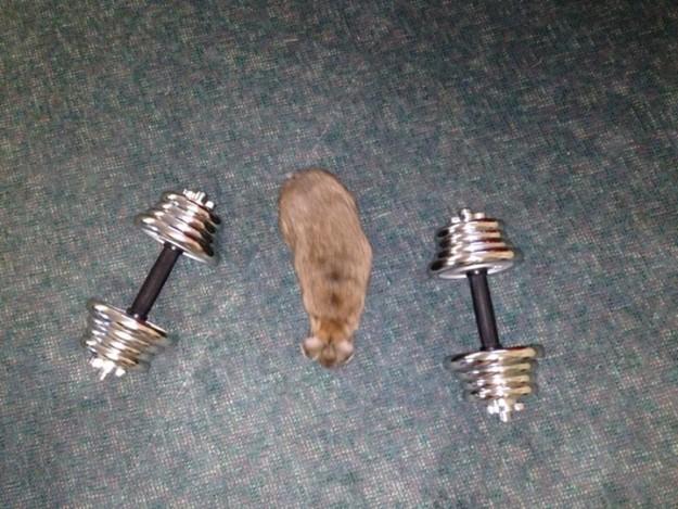 Rabbit in between weights.