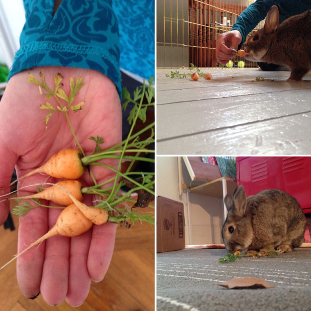 Carrots for rabbits